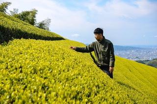 Zairai-Hakuyocha Japanese Green Tea Farm in Shizuoka